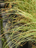 Carex albuba Frosted Curls